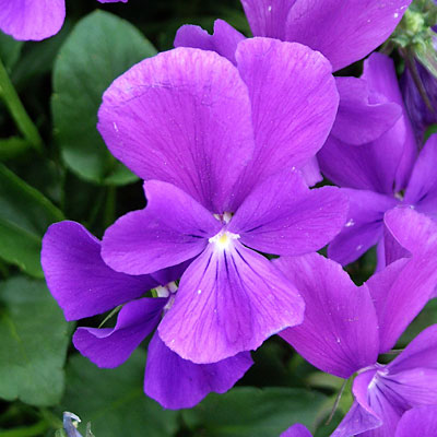 Viola cornuta 'Purple Showers'