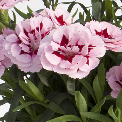 Dianthus 'Oscar Purple Star'