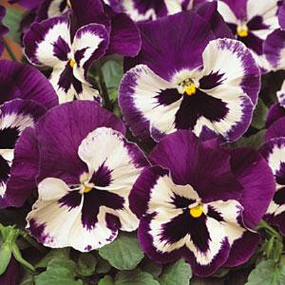 Pansy 'Spring Matrix Purple & White'
