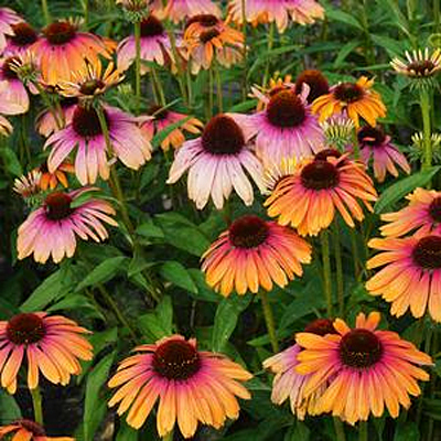 Echinacea x 'Butterfly Rainbow Marcella'