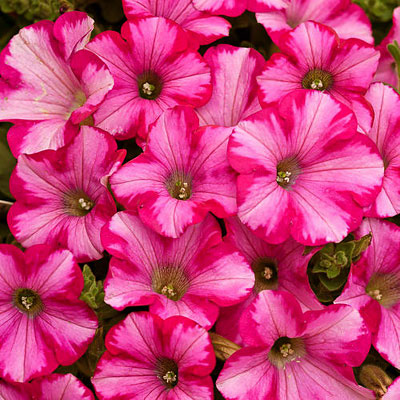 Petunia 'Supertunia Raspberry Blast'