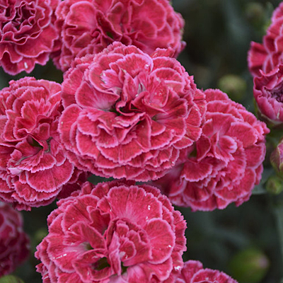 Dianthus x 'Fruit Punch Raspberry Ruffles'