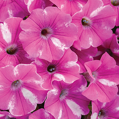 Petunia 'Supertunia Raspberry Rush'