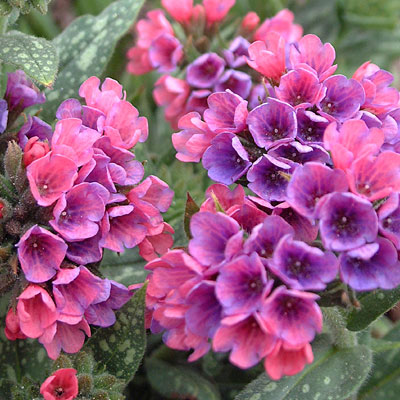 Pulmonaria x 'Raspberry Splash'