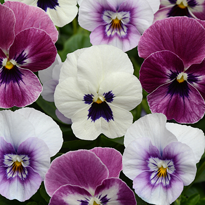 Viola 'Sorbet XP Raspberry Sundae Mix'