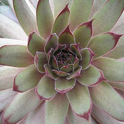 Sempervivum 'Red Beauty'