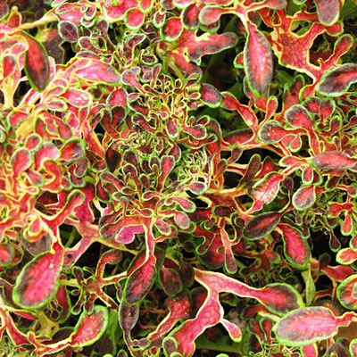 Coleus 'Under the Sea Red Coral'