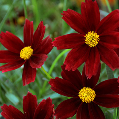 Coreopsis x 'Lil Bang Red Elf'