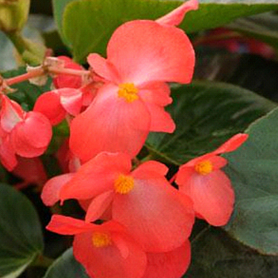 Begonia 'Whopper Red with Green Leaf'