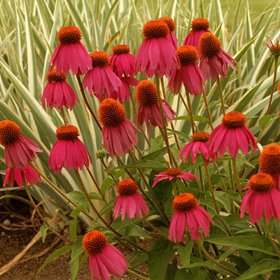 Echinacea purpurea 'Red Knee High'