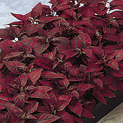 Hypoestes 'Red Splash'