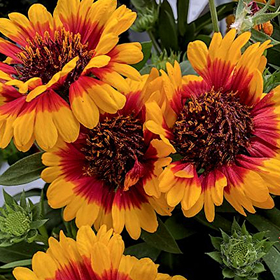 Gaillardia a. 'Spintop Red Starburst'