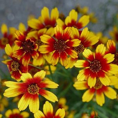 Coreopsis x 'Satin & Lace Red Tapestry'