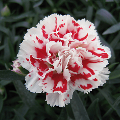 Dianthus x 'Super Trouper Red White'