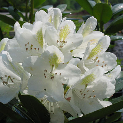 Rhododendron cat. 'Chionoides'