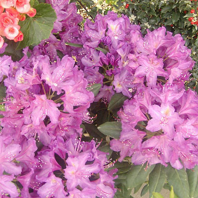 Rhododendron cat. 'Lee's Dark Purple'