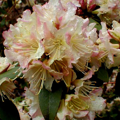 Rhododendron 'Mary Fleming'