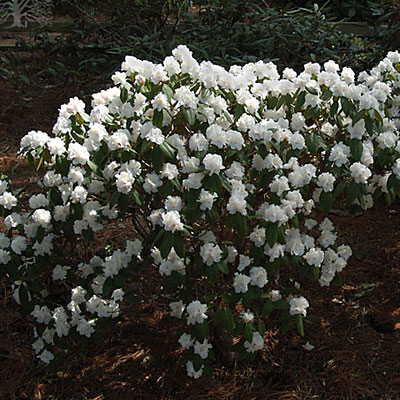 Rhododendron 'Molly Fordham'