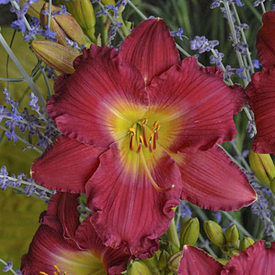 Hemerocallis 'Romantic Returns'