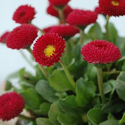 Bellis perennis 'Rominette Red'