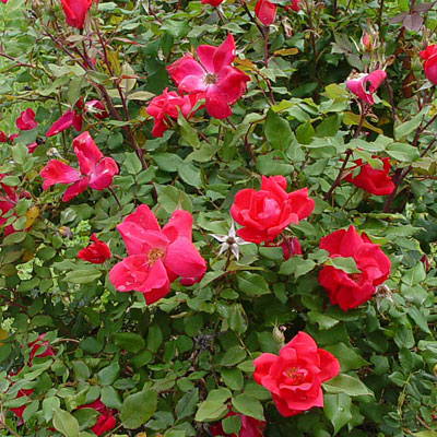 Rosa 'Knock Out'
