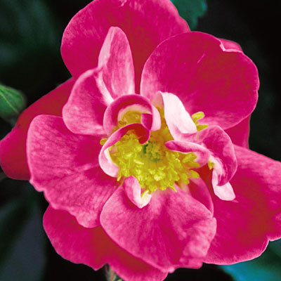 Rosa 'William Baffin'