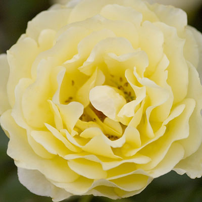 Rosa 'Yellow Submarine'