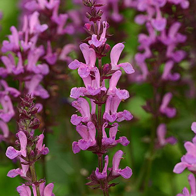 Salvia nemorosa 'Rose Marvel'