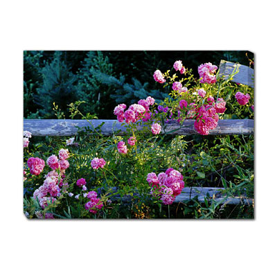 Outdoor Art - Roses on Fence
