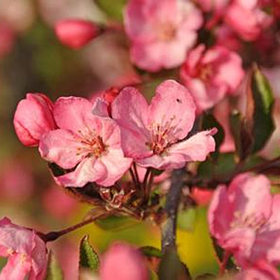 Malus 'Royal Gem'