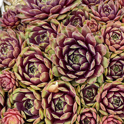 Sempervivum 'Ruby Heart'