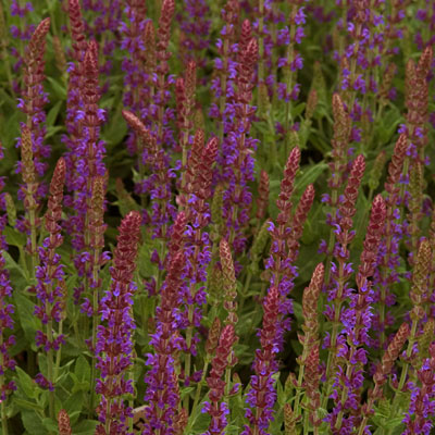 Salvia n. 'East Friesland'