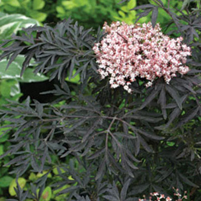 Sambucus n. 'Black Lace'