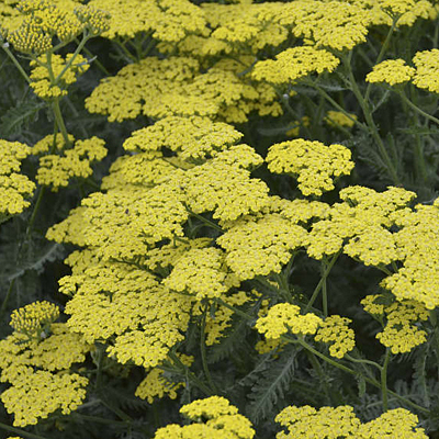 Achillea x 'Sassy Summer Lemon'