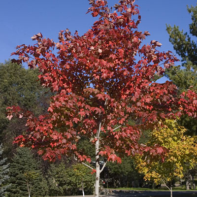 Acer rubrum 'Scarlet Jewell'