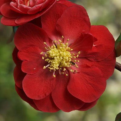 Chaenomeles 'Double Take Scarlet Storm'