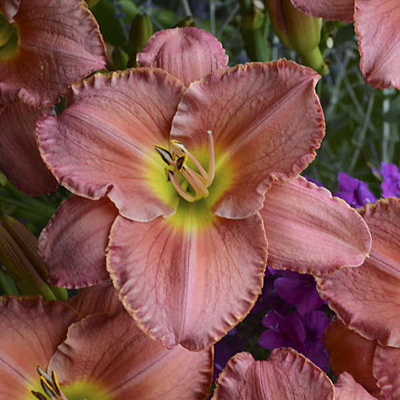 Hemerocallis 'Scottish Fantasy'