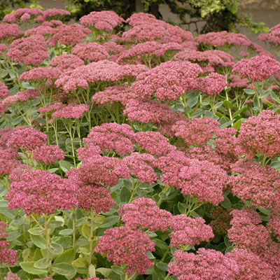Sedum spect. 'Autumn Joy'