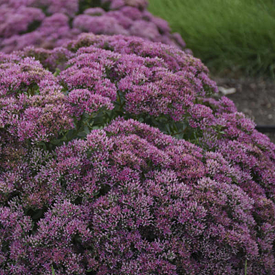 Sedum spect. 'Powderpuff'