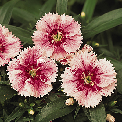 Dianthus 'Ideal Select Whitefire'