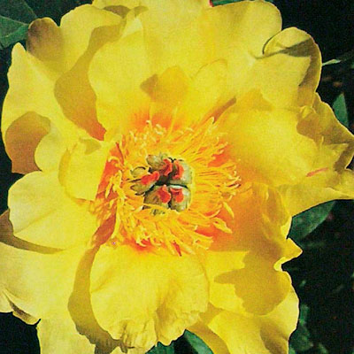 Paeonia x ITOH 'Sequestered Sunshine'