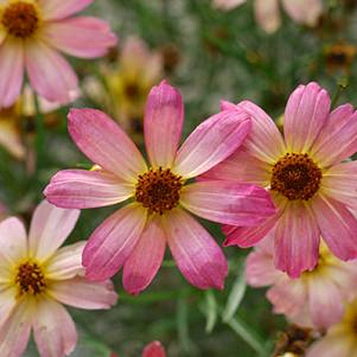 Coreopsis x 'Shades of Rose'