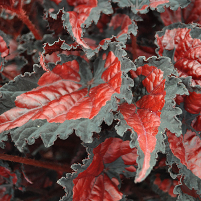 Begonia rex 'Shadow King Black Cherry'