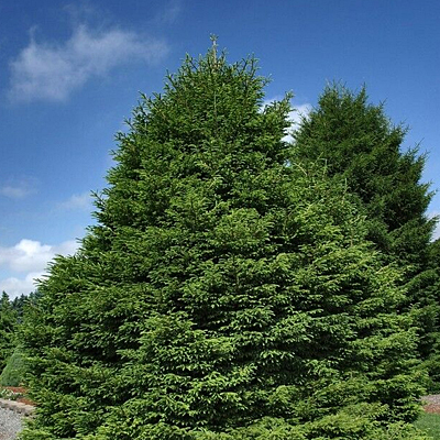 Picea or. 'Shadow's Broom'