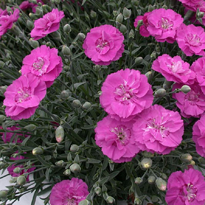 Dianthus x 'Shooting Star'