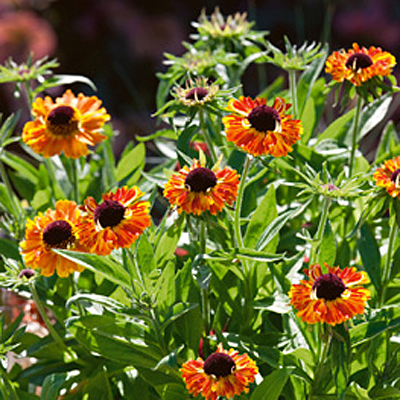 Helenium a. 'Short and Sassy'