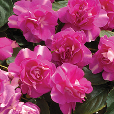 Impatiens 'Silhouette Rose Star'