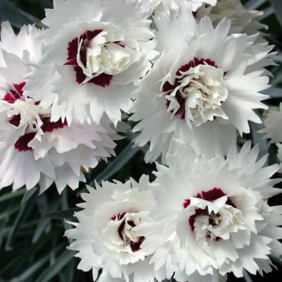 Dianthus x 'Silver Star'