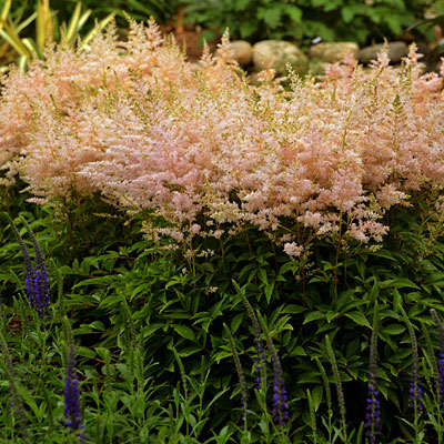 Astilbe x 'Younique Silvery Pink'