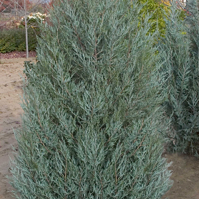 Juniperus scopulorum 'Sky High'